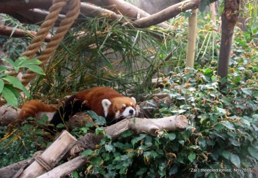 Red Panda from Ocean Park, Hong Kong