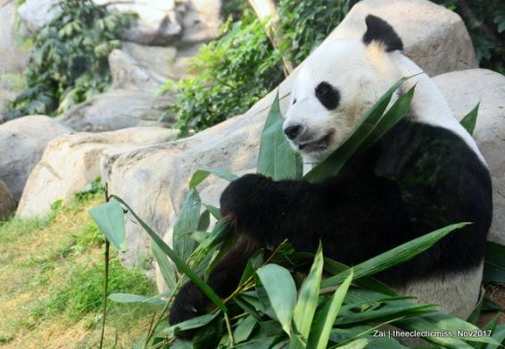 Giant Panda from Ocean Park, Hong Kong